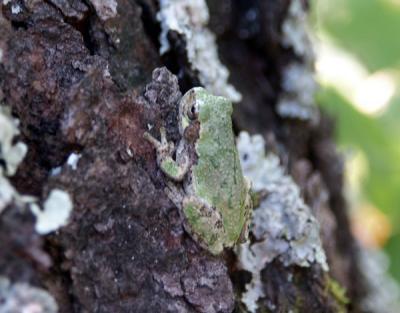 gray-tree-frog-7326.jpg