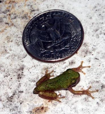 tree-frog-tiny-6718.jpg