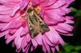 dingy-cutworm-moth-6586.jpg