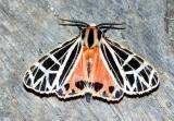 parthenice-tiger-moth-6475.jpg