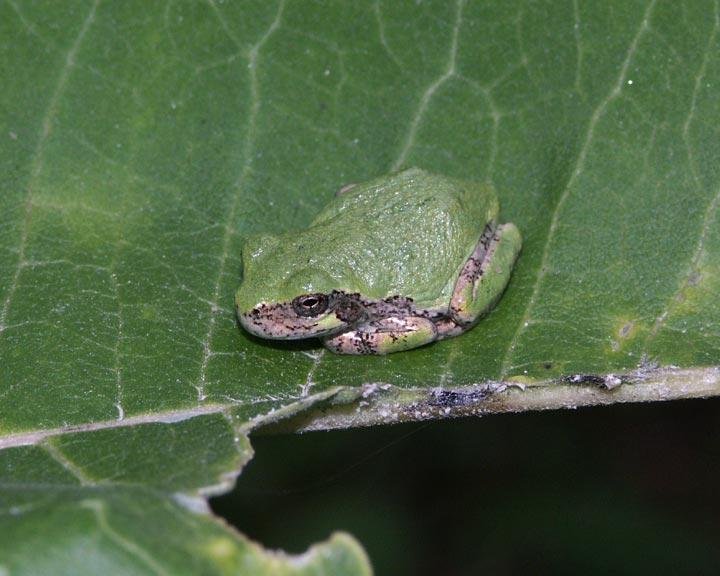 gray-tree-frog-7107.jpg