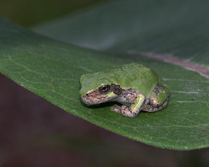 gray-tree-frog-7118.jpg