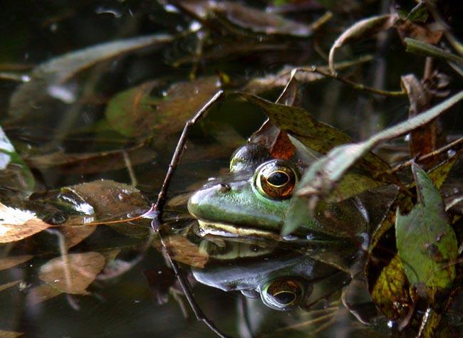 green-frog-5683.jpg