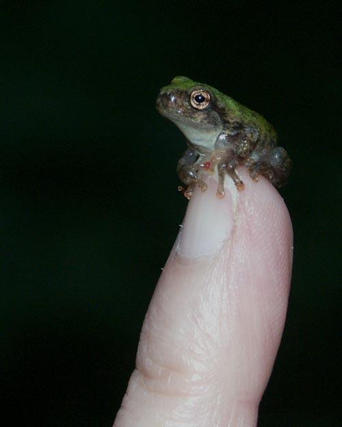 tree-frog-tiny-6693.jpg