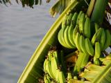 fruiting banana by water side