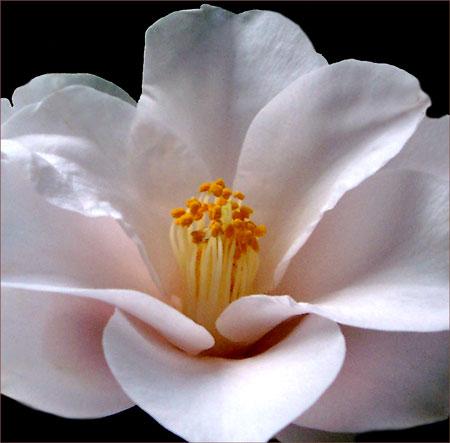 Magnoliaflora - japonica