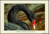 Black Swan 2 - Swan River