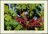 Rainbow Lorekeet - Cottesloe