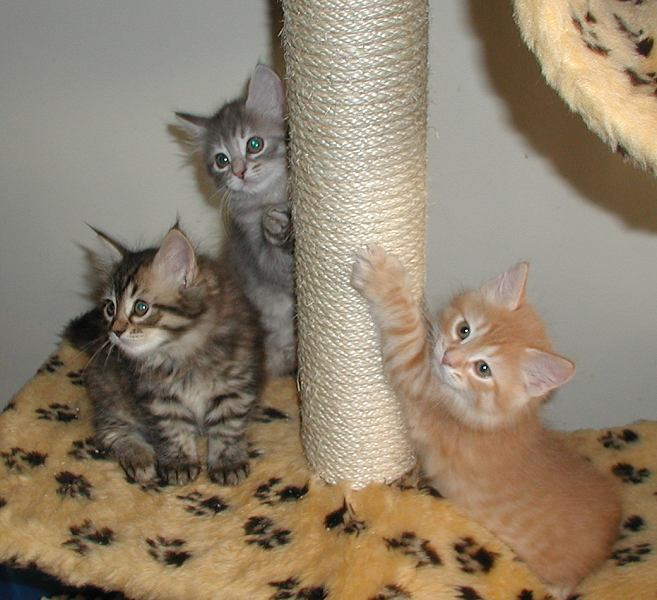 Three in the cat tree