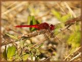 Scarlet Skimmer (male)