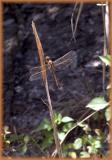 Needham's Skimmer (female)