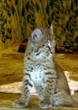 Baby Bobcat.jpg(647)