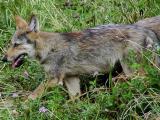Wolf pup.jpg(639)