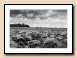 Alexander County tobacco fields, stormy morning