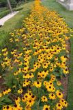 Blackeyed Susans