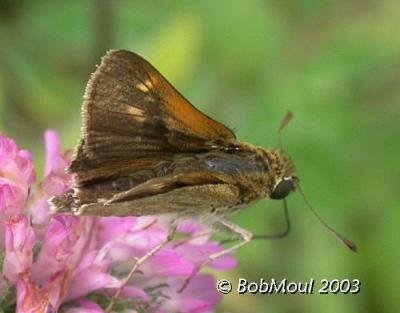 Tawny Edged Skipper