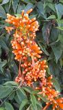 Orange Trumpet Vine, (Pyrostegia ignea)