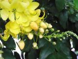 Gold shower (Cassia fistula)