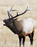 Elk Call.jpg