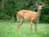 2002_Deer looking at Me