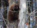 2003_Porcupine in a tree