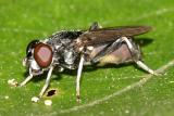 Chalcosyrphus sp. (female)