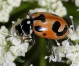 Parenthsis lady beetle, Hippodamia parenthesis.