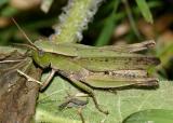 Dichromorpha viridis female