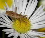 Damsel Bugs - Nabidae