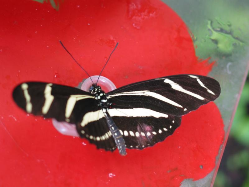 Zebra Butterfly , Amsterdam Butterly House