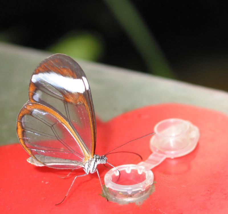 Glasswing butterfly feeding