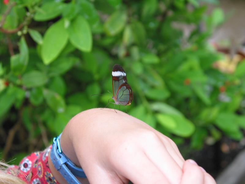 Glasswing on a little girls hand.jpg