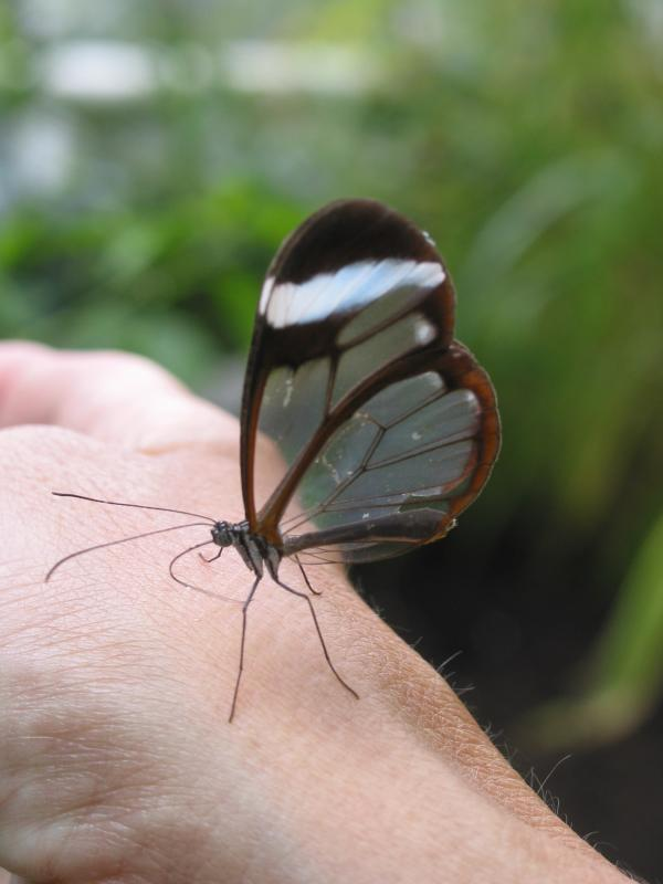 Glasswing on my hand!