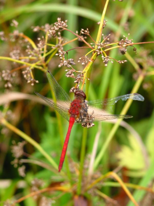 Red Dragonfly with wing damage