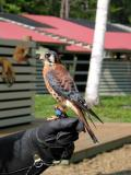 Just the kestrel