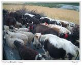 前往林芝途中路边的牛羊