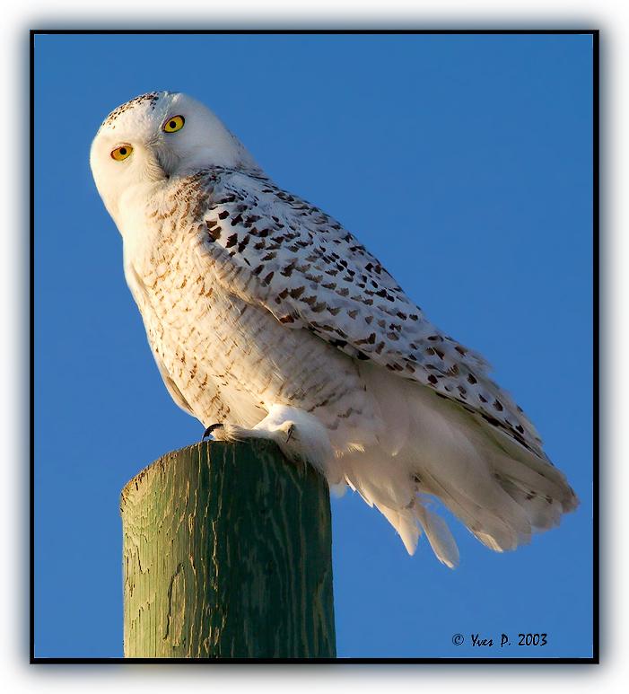 Snowy Owl ...