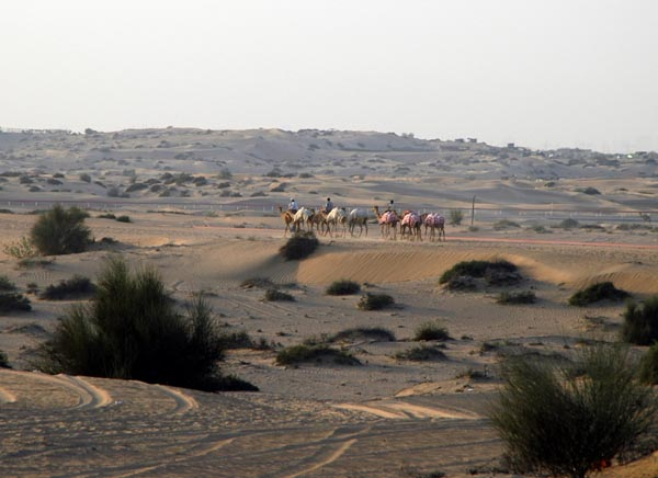 Camels near the Sharjah race track