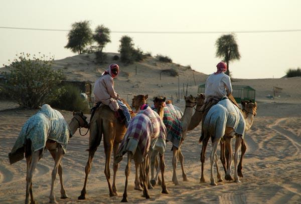 Returning from Sharjah Camel Racetrack