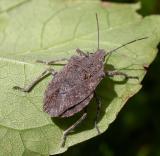 Brochymena quadripustulata (Fabricius)