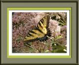 Swallowtail Butterfly ~ Sept, 2003