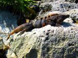 Old Buddy Iguana