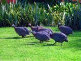 Guinea Fowls (?)