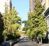 Ginkgo Trees on Washington Place
