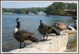 Ducks - Stone Mountain -  IMG_0108.jpg