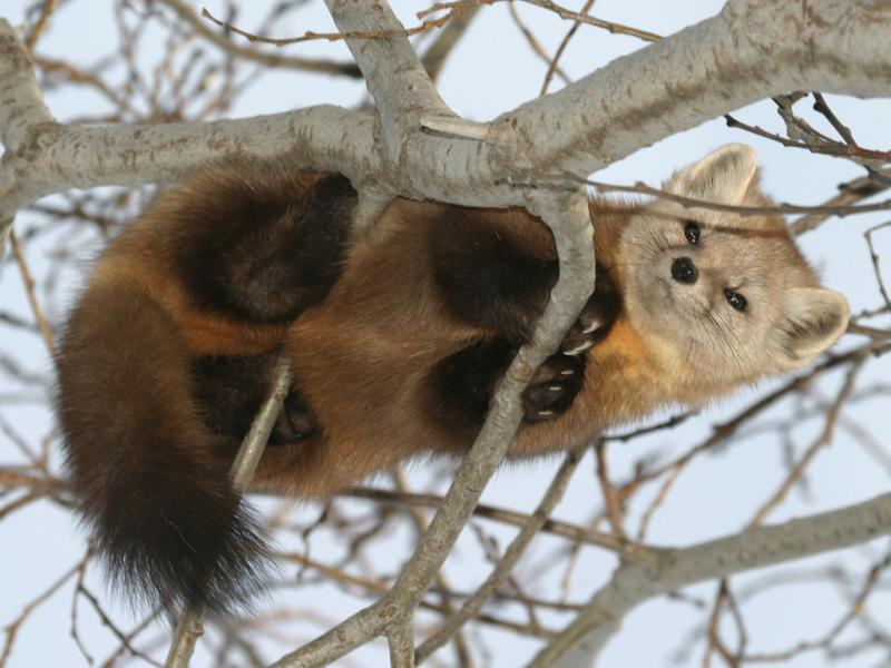 Marten high in tree