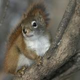 Squirrel in tree showing pink lip