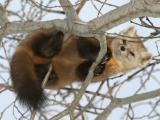 Marten high in tree