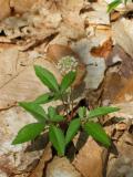 Dwarf Ginseng (Panax trifolius)
