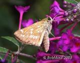 Sachem Skipper Female - Phenotypic Variation